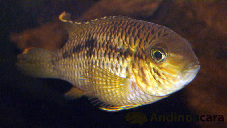 Cichlid species Andinoacara biseriatus (Regan, 1913)